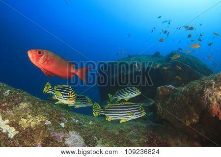 Oriental Sweetlips fish and Bigeye fish on coral reef
