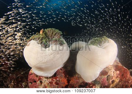 Anemones, coral reef and fish underwater