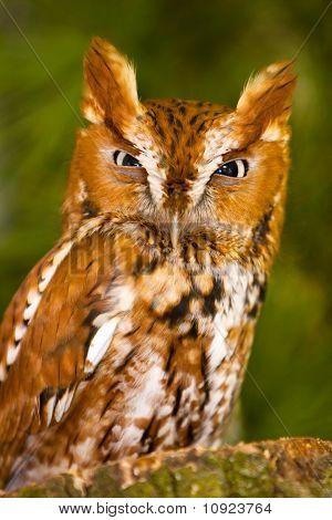 Angry Screech Owl Glare