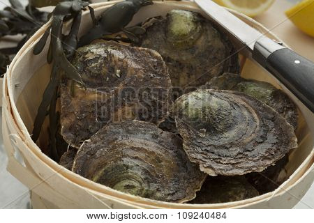 Fresh European flat oysters in a basket close up
