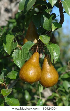 Oregon Pears