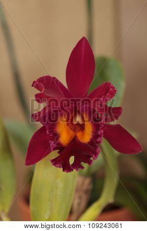 Cattleya orchid flower blooms