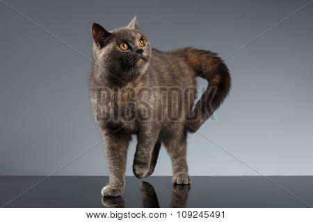 Scottish Cat Stands On Gray Mirror