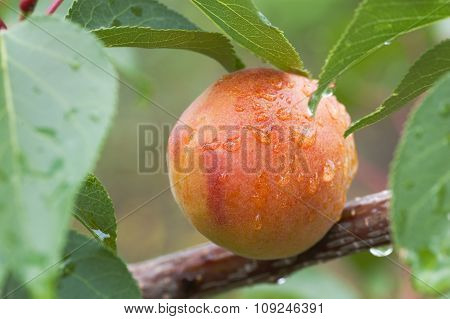 Apricot Fruit On Branch With Leaves Covered By Water Drops After Rain