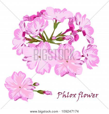Set of flowers pink phlox in realistic hand-drawn style.
