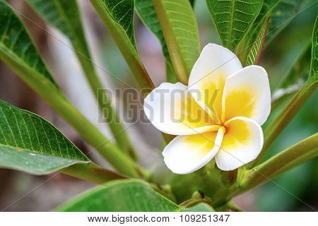 White And Yellow Plumeria In Bright Sunlight.