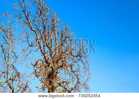 Decorative Tree Trimmed Into Flat Shape