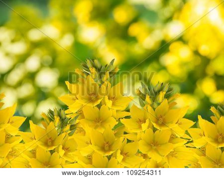 Yellow Loosestrife On The Blurred Background