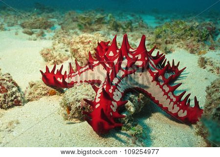 African Sea Star