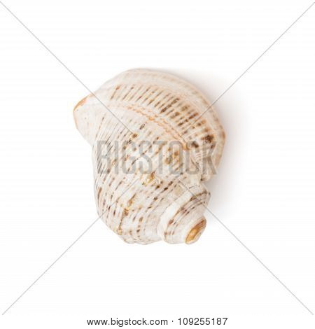 One Isolated Sea Shell