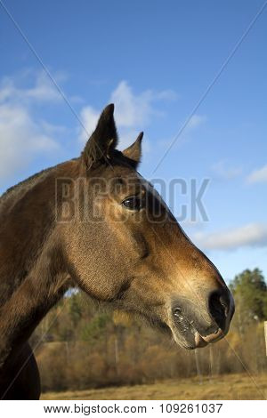 Profile Of Young Brown Horse