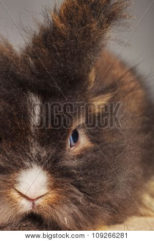 Close up portrait of a lion head rabbit bunny looking away from the camera.