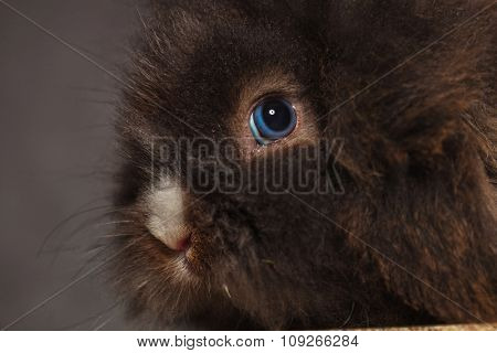 Close up picture of a lion head rabbit bunny against grey studio background.