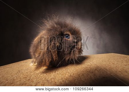 Side view of a furry lion head rabbit bunny sitting on a wood box, looking at the camera.