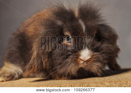Close up picture of a cute lion head rabbit bunny lying on a wood box.