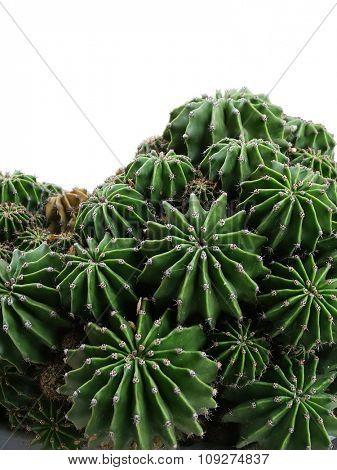 Many cactuses