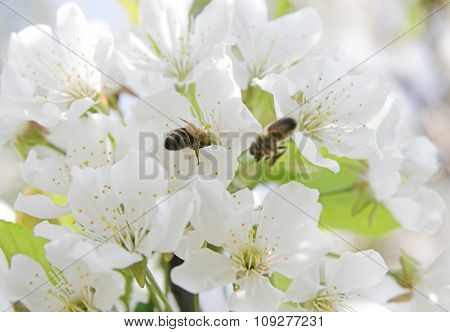 Spring time bloom. Cherry tree branch blooming and two bees