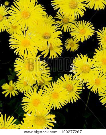 Yellow flowers on black background.