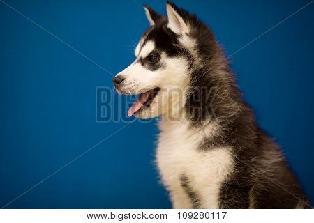 Cute siberian Husky puppy dog on blue background