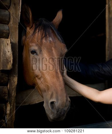 portrait of a horse in the barn