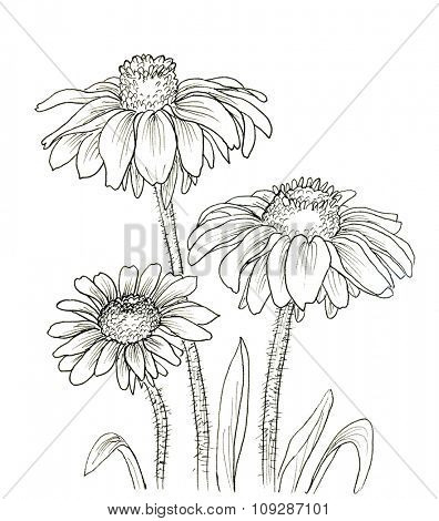 Line ink drawing of flowers Rudbeckia hirta. Black contour on white background