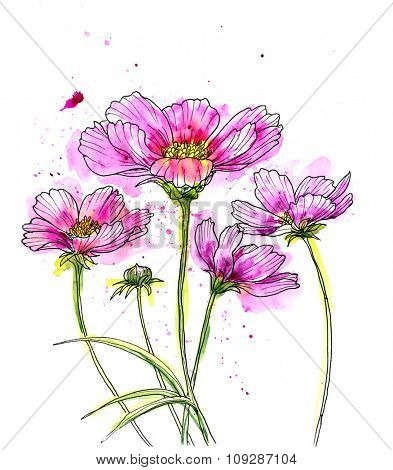 Line ink drawing of cosmos flower with watercolor. Black contour on white background