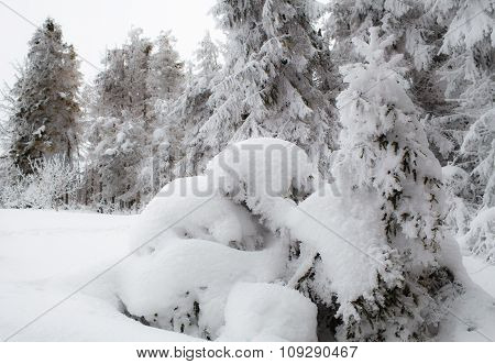 Fresh Snow, Winter Trees
