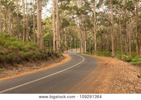 Karri Trees in the Forrest