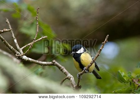 Little great tit