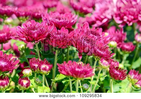 Magenta Chrysanthemum (dendranthemum Grandifflora) In Closed-up.