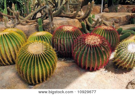 Ball Shaped Cactuses