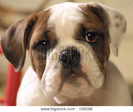 Bull Dog Puppy Gesicht