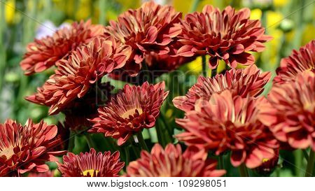 Orange Chrysanthemum (dendranthemum Grandifflora) In Closed-up.