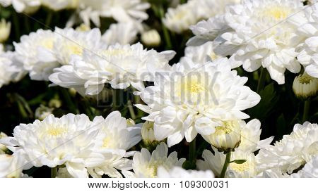White Chrysanthemum (dendranthemum Grandifflora) In Closed-up.