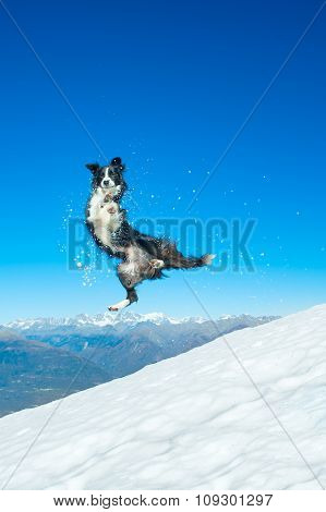 Border Collie Jumps In The Snow In The Mountains.