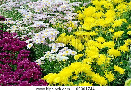 Chrysanthemum Field.