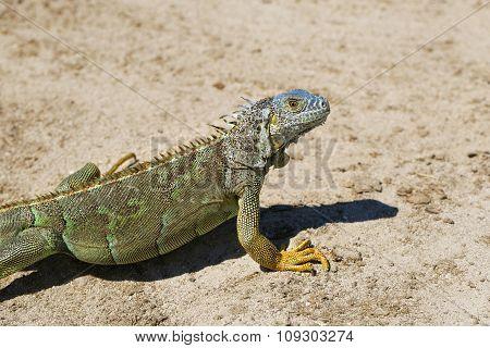 Iguana On Grand Cayman Island In The Caribbean.