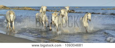 White Camargue Horses Running On The Blue Water In Sunset Light.