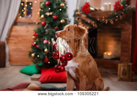 Dog Nova Scotia Duck Tolling Retriever Holiday, Christmas