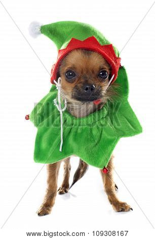 Dressed Puppy Chihuahua In Studio