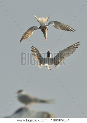 Two Common Tern (sterna Hirundo) Interacting In Flight