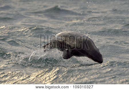 Jumping Cape Fur Seal (arctocephalus Pusillus Pusillus) On Sunrise Light