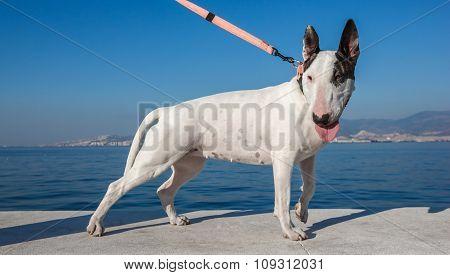 Bullterrier Dog Standing