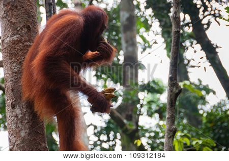 Orang Utan sitting on a tree in the jungle