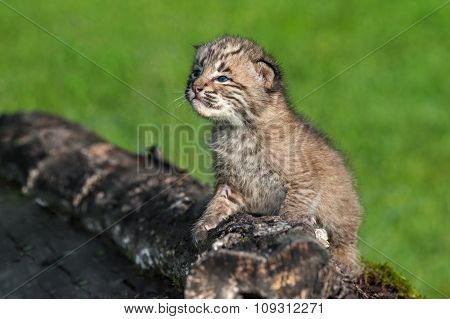 Baby Bobcat (lynx Rufus) Looks Up From Log