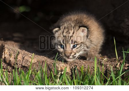 Baby Bobcat Kitten (lynx Rufus) Crawls Out From Log