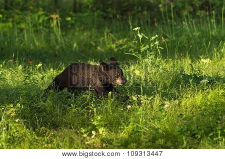 Black Bear Cub (ursus Americanus) Runs Across Grass