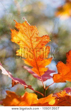 Autumn Red Oak Leaf