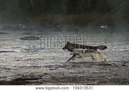 Grey Wolves (canis Lupus) Run In River