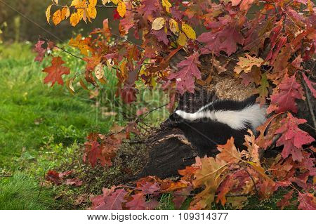 Striped Skunk (mephitis Mephitis) Looks Out From Log And Leaves